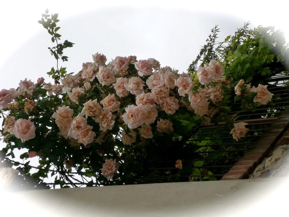 rose di maggio 2008