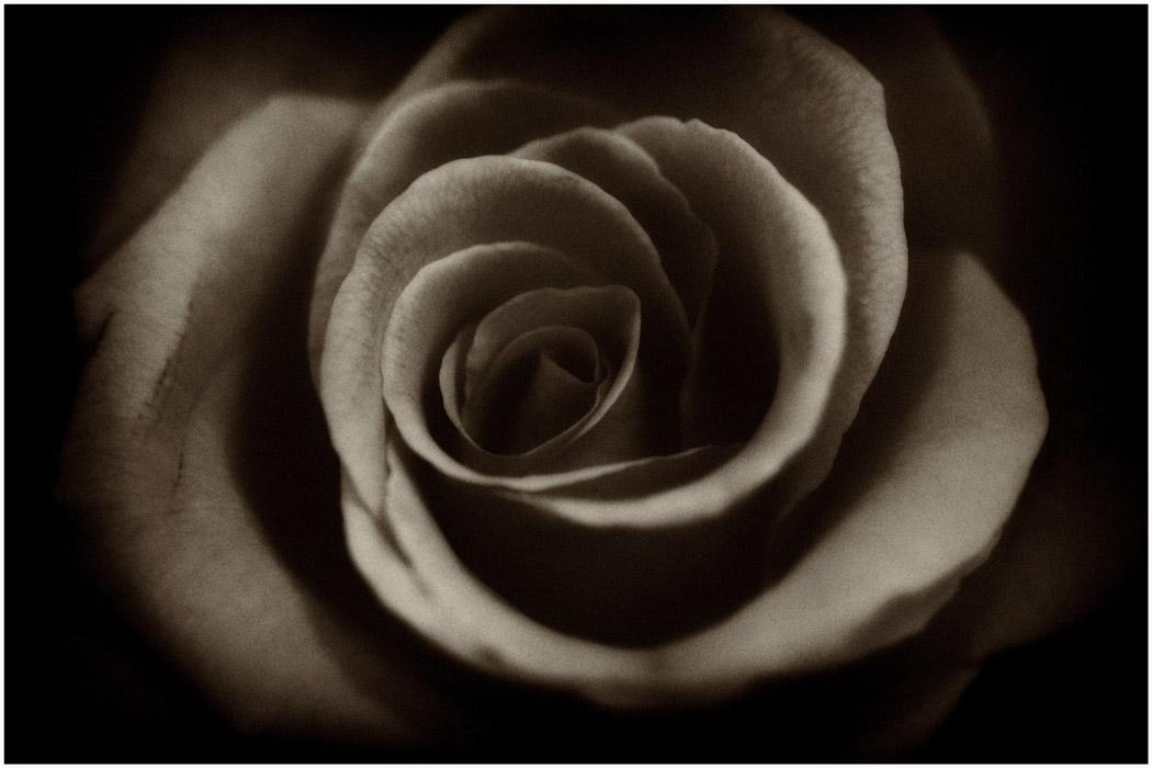 Rose d'or...