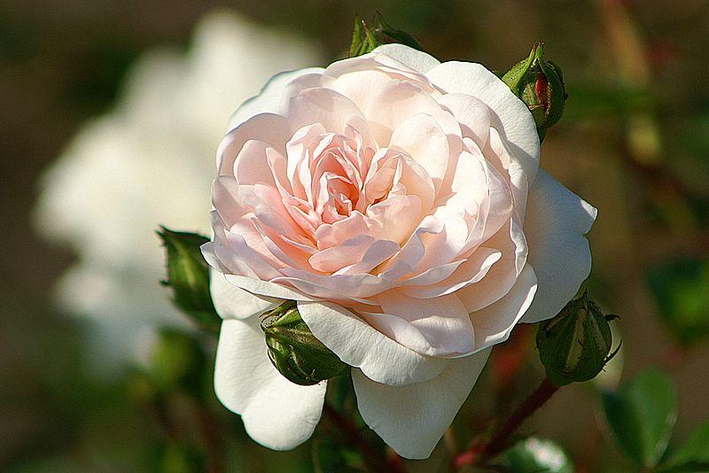 """Rose """" Dreaming """""""