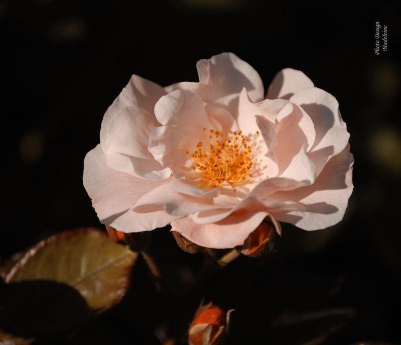Rose DSC 11