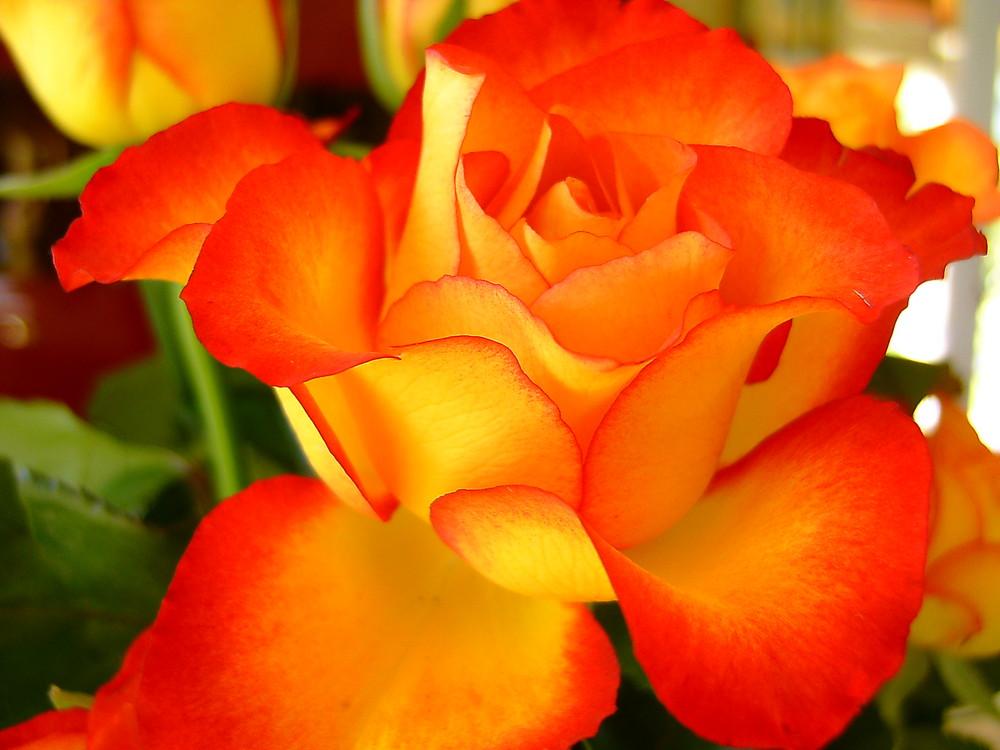 rose du je t'aime
