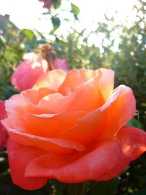 Rose d'un soir