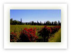 Rose e vigne...in Valpolicella