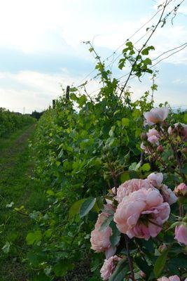 Rose e viti