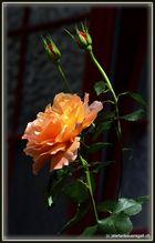"""""""Rose."""""""