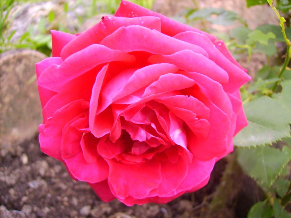 rose éclose qui se repose