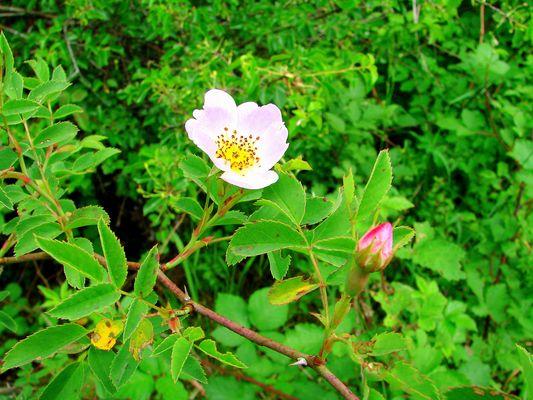 Rose Eglantine
