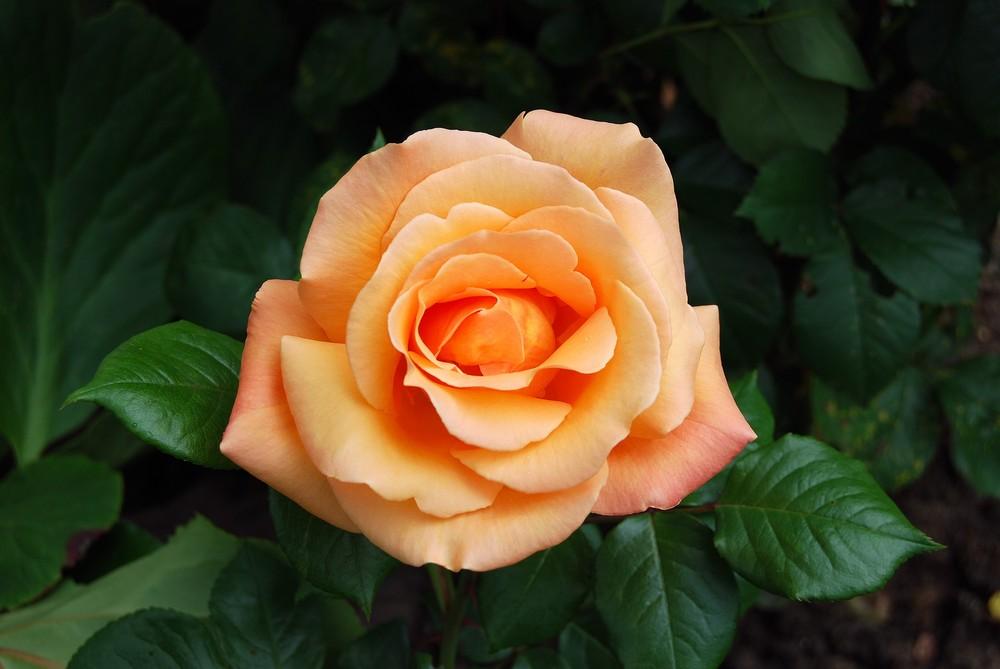 rose elle a vecu ce que vivent les roses......