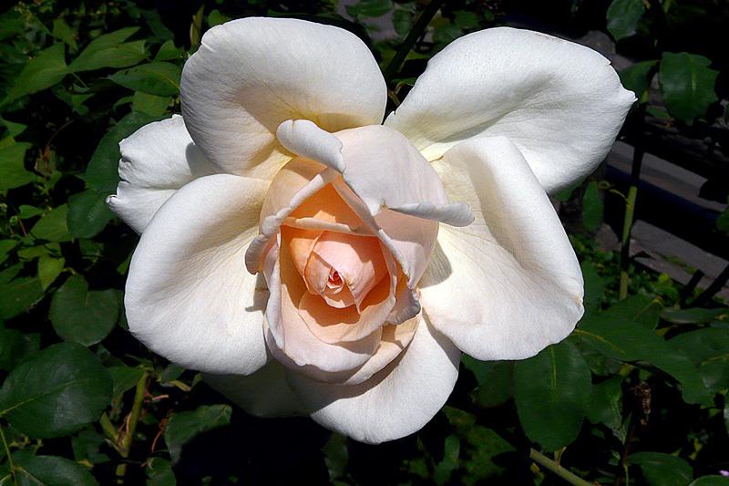 Rose en extase II