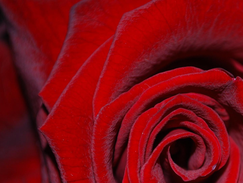 rose en fleur