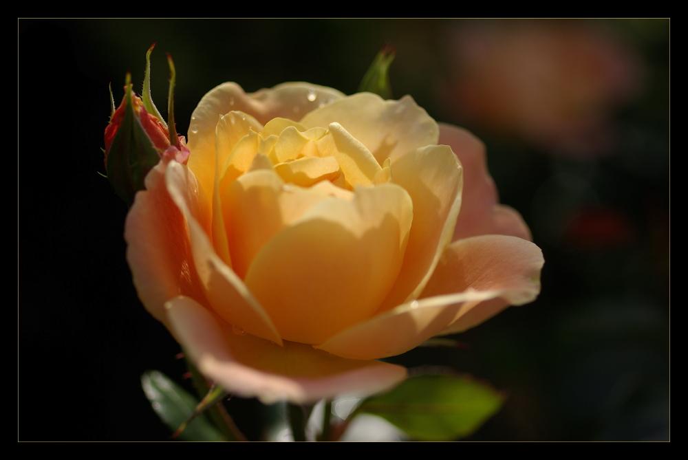 ... rose en lumière ...