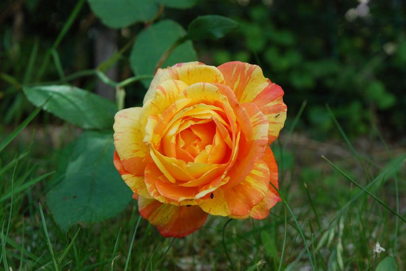 ROSE EN MON JARDIN