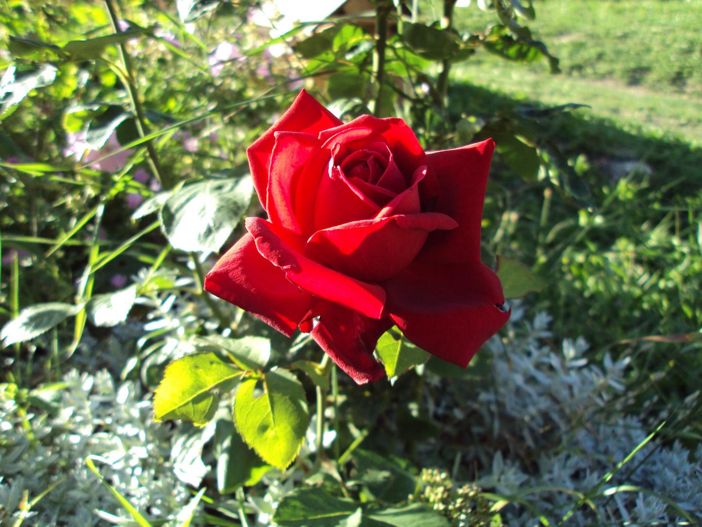 rose en montagne