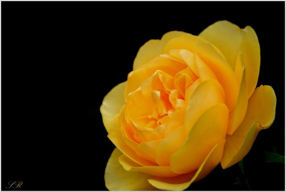 Rose ( Encore ) . . .