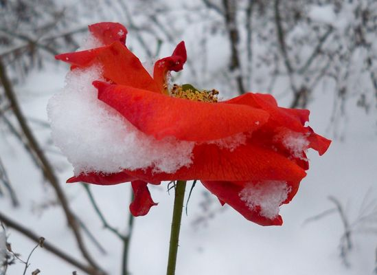 Rose enneigée