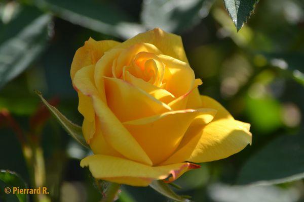 Rose ensoleillée