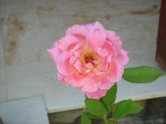 rose esctraordinaire!!