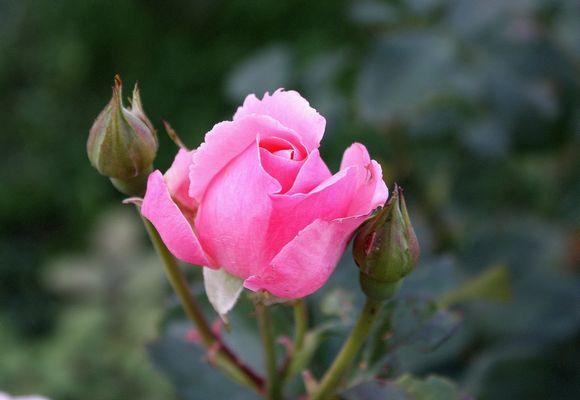 rose et boutons