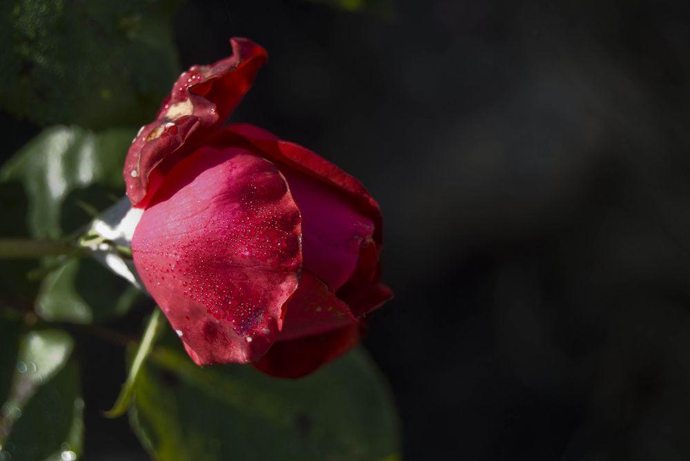 Rose et rosée...