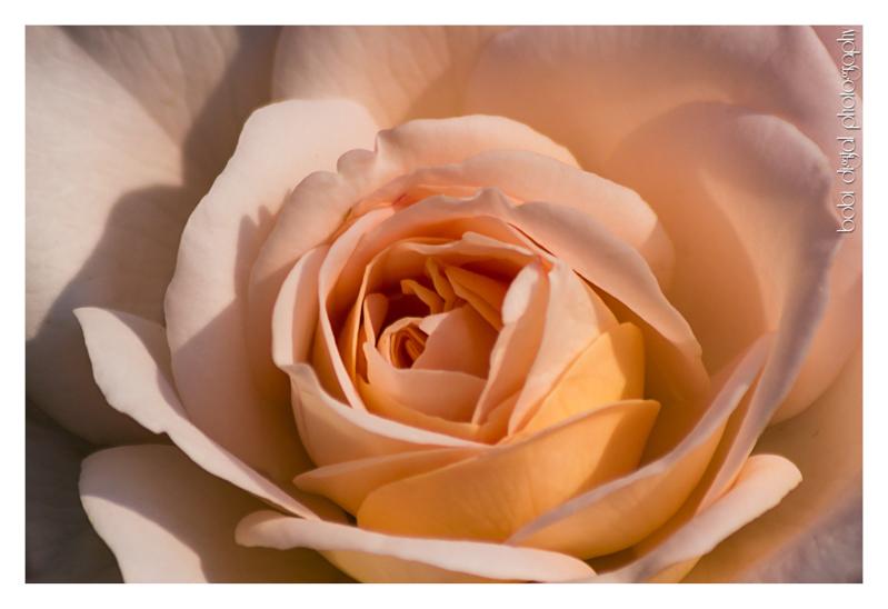 ..:: rose ::..