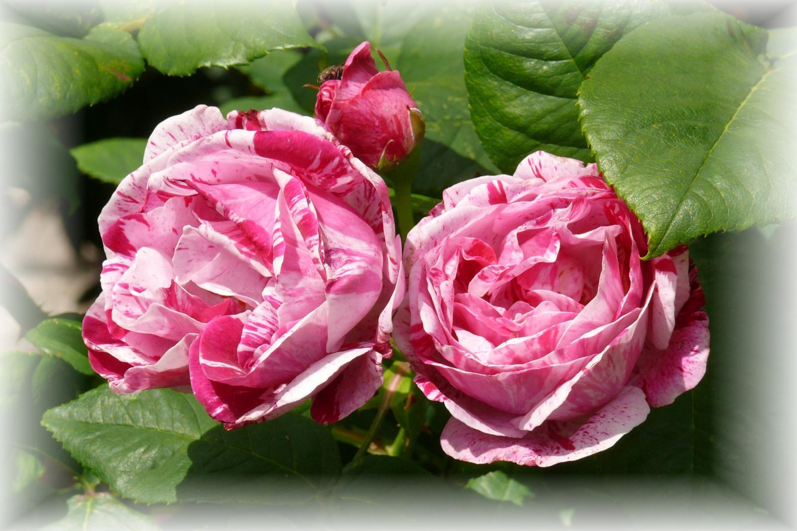 Rose --Ferdinand Pichard --