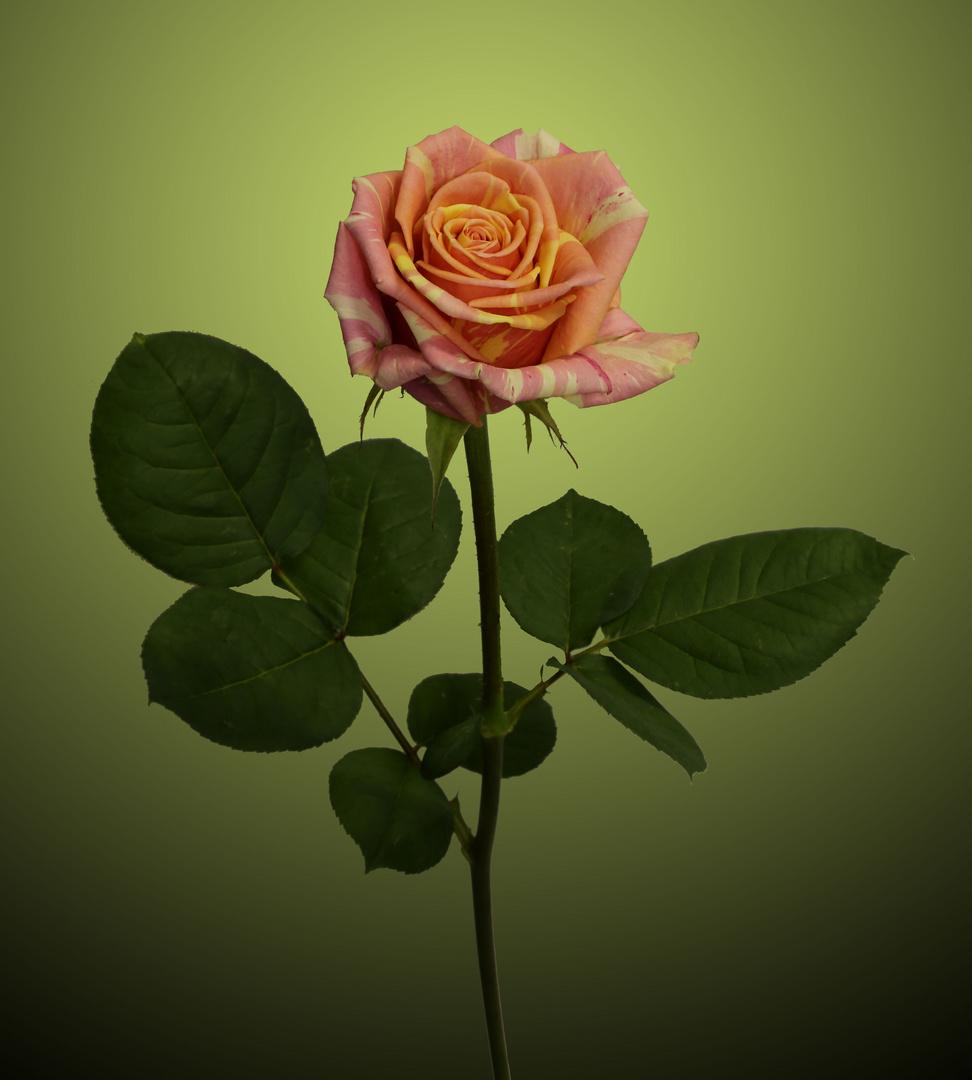 """Rose """"Fiesta"""""""