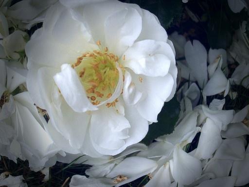 Rose FishEye