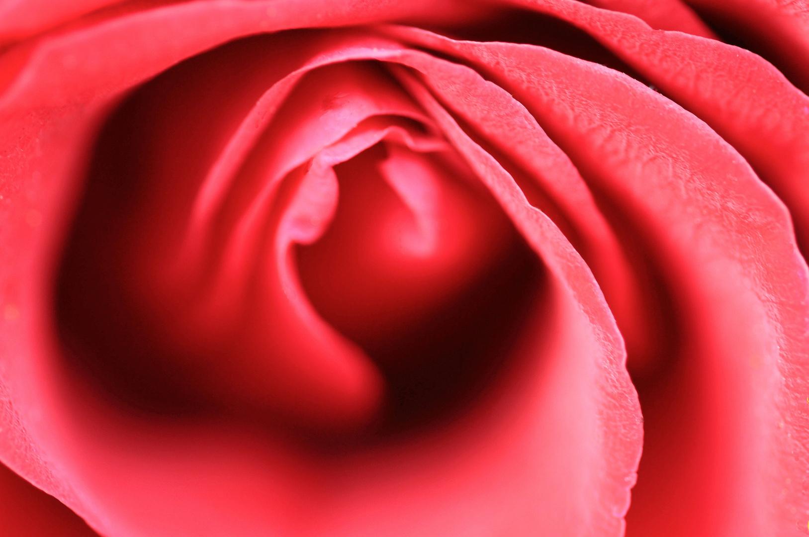 Rose fleischig