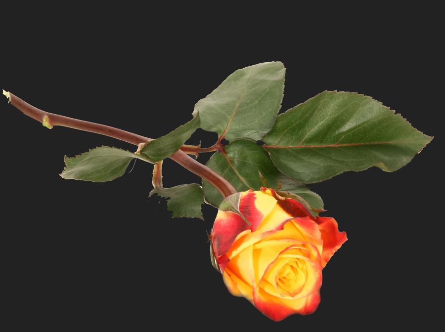 rose for >Suzette