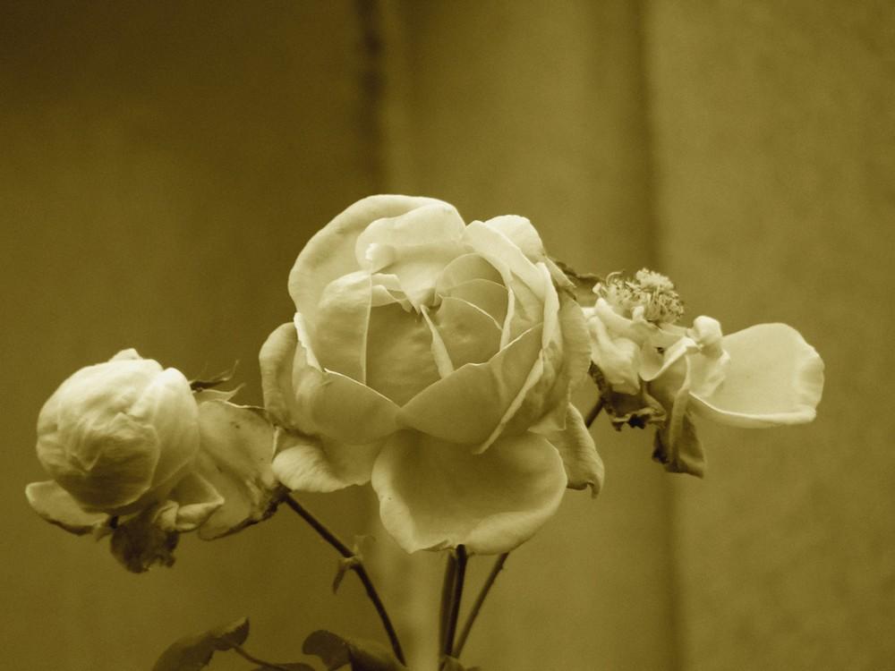 Rose fraiche