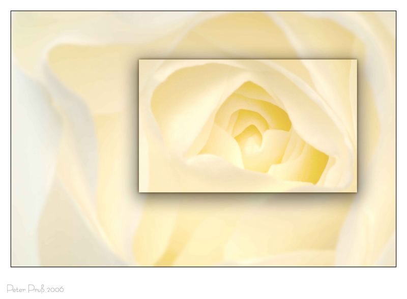 "Rose ""freigestellt"""