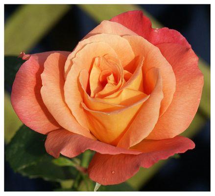 """Rose """"Freisinger Morgenröte"""""""
