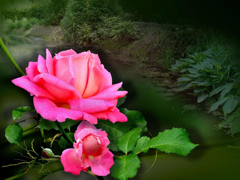 Rose für all meine Freunde.