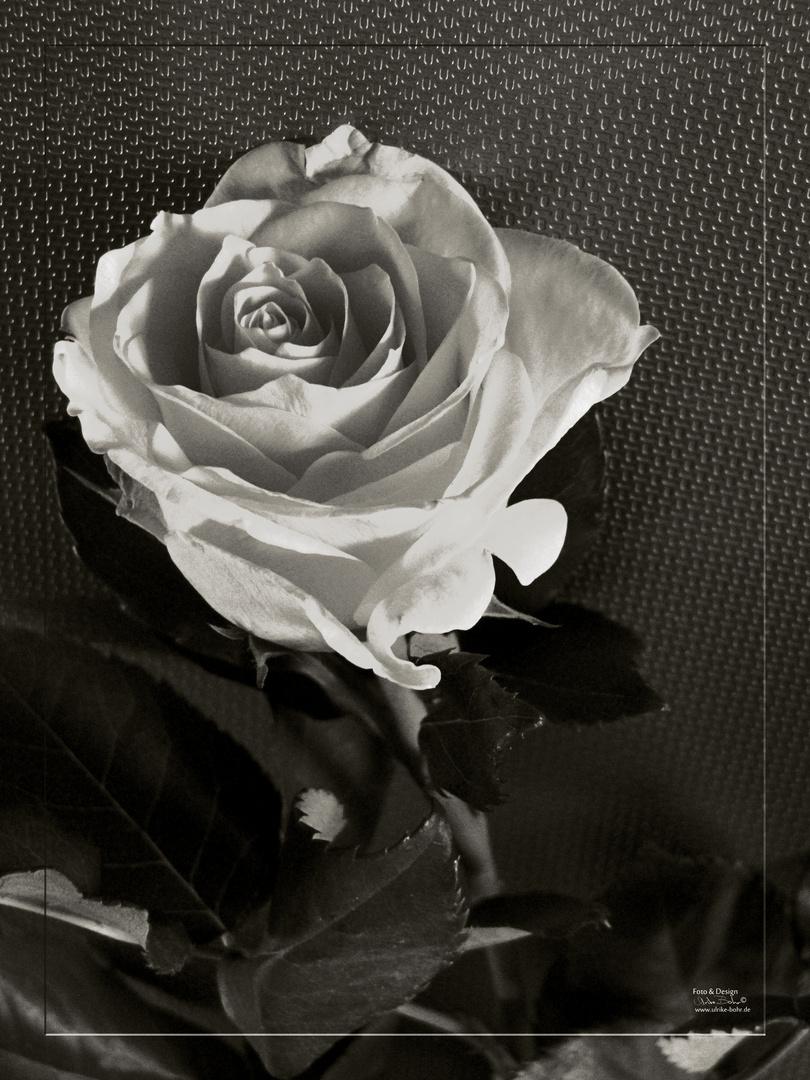 Rose für besondere Menschen