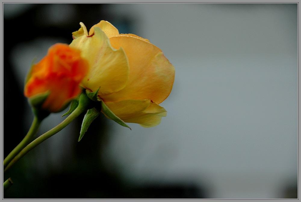 Rose für eine Rose