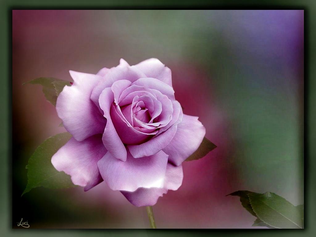 Rose für Euch