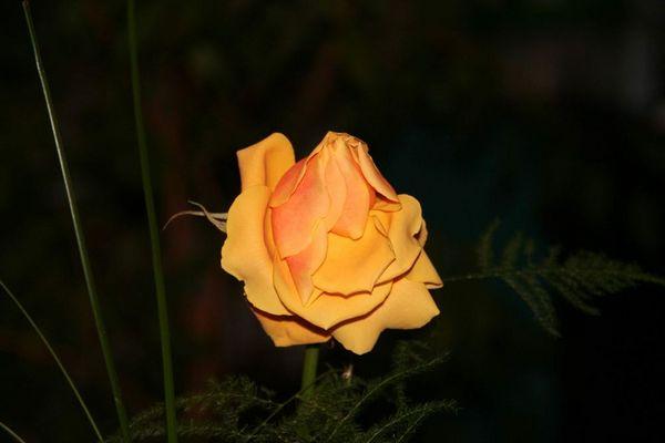 rose für kochanie