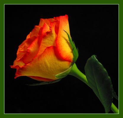 Rose gelb-rot #01