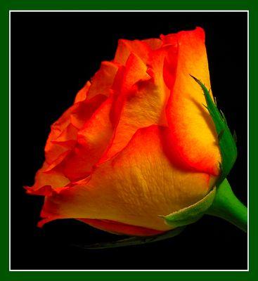 Rose gelb-rot #02