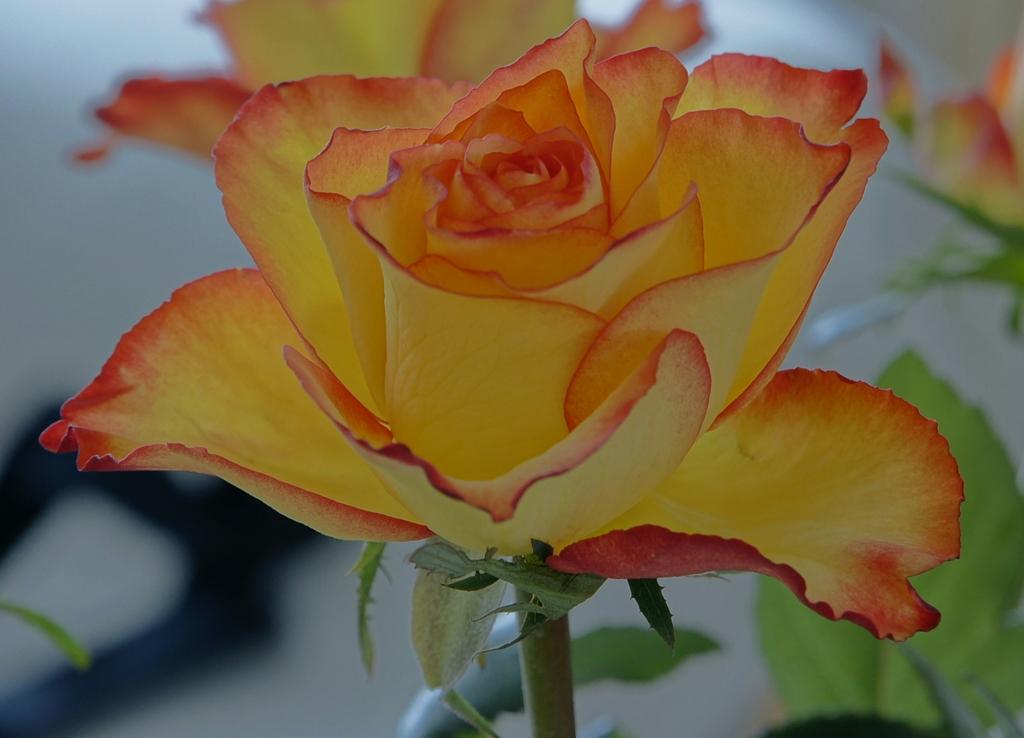 rose gelb rot