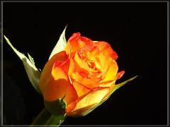 Rose gelb-rot