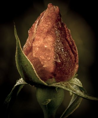 Rose gelée