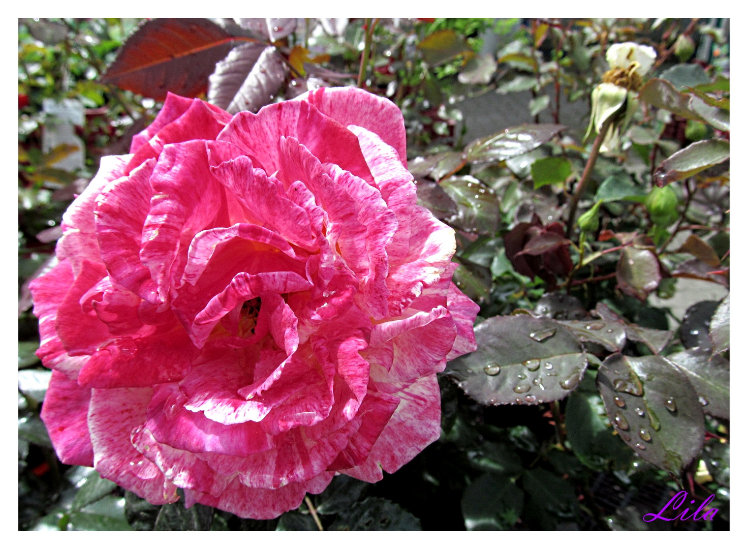 Rose gestreift ...............