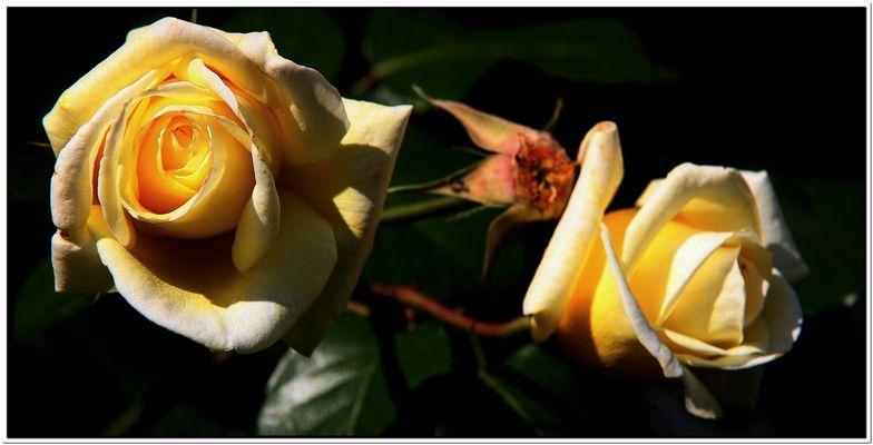 Rose Gialle!