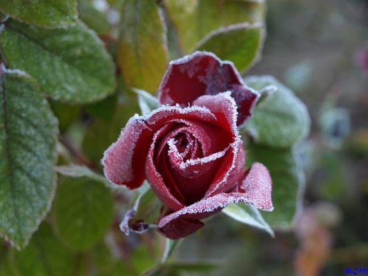 Rose givré