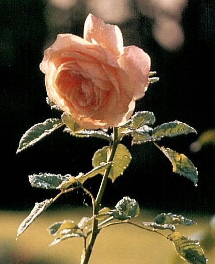 Rose GLOIRE DE DIJON