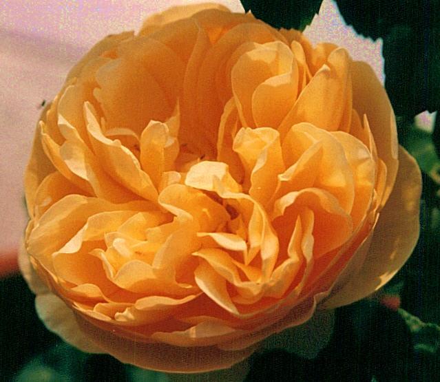 Rose Graham Thomas