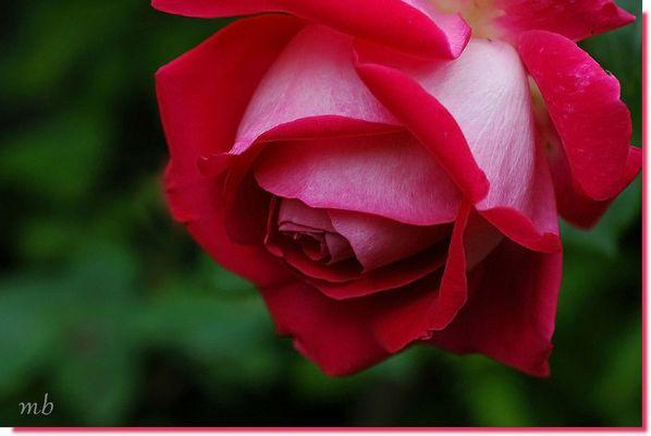 """rose """"grand gala"""""""