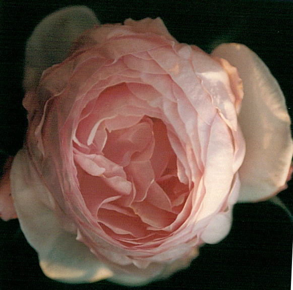 Rose HERITAGE