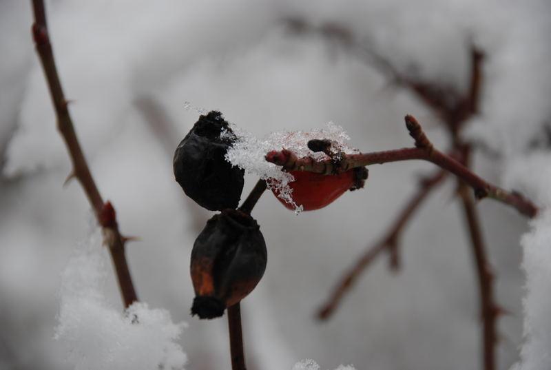 Rose hip ice